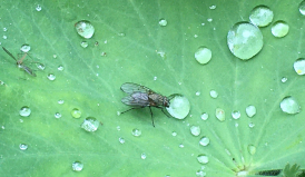 Fliege trinkt aus Wassertropfen