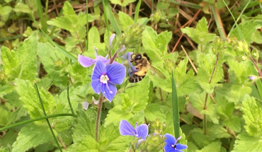 Blühwiesen auch für Bienen ein lebenswichtiger Nahrungsraum